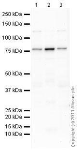Western blot - Anti-LYRIC antibody (ab45338)
