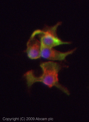 Immunocytochemistry/ Immunofluorescence - Tryptophan Hydroxylase antibody (ab46200)