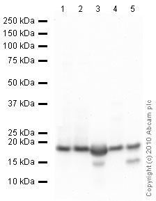 Western blot - Histone H3 antibody - ChIP Grade (ab46765)