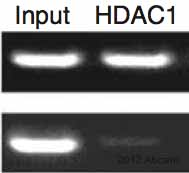 ChIP - Anti-HDAC1 antibody [10E2] - ChIP Grade (ab46985)
