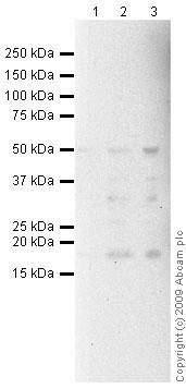 Western blot - CD40 antibody [B-B20] - Azide free (ab47021)