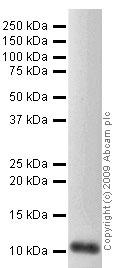 Western blot - IP10 antibody (ab47045)