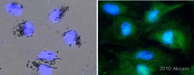 Immunocytochemistry/ Immunofluorescence - Src antibody (ab47405)