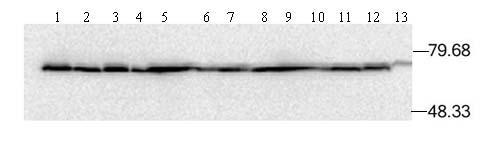 Western blot - Hsp70 antibody [C92F3A-5] (ab47455)