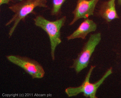 Immunocytochemistry/ Immunofluorescence-Anti-TIM 1 antibody(ab47635)