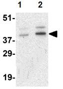 Western blot - Anti-CCNO antibody (ab47681)