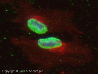Immunocytochemistry/ Immunofluorescence - MLH1 antibody (ab47703)