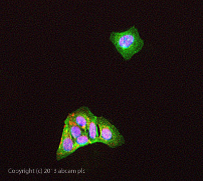 Immunocytochemistry/ Immunofluorescence - Anti-C4 antibody (ab47788)