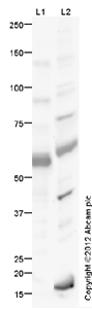 Western blot - Anti-ATG16L1 antibody (ab47946)