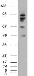 Western blot - MDM2 antibody (ab47989)