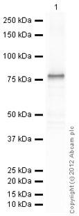 Western blot - Anti-GFAP antibody - Astrocyte Marker (ab48050)