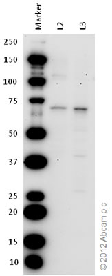 Western blot - Anti-FMRP (phospho S499) antibody (ab48127)