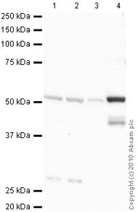 Western blot - Detyrosinated alpha Tubulin antibody (ab48389)