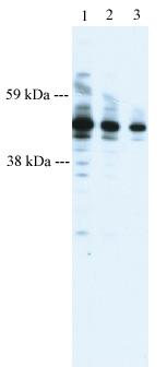 Western blot - PTRF antibody (ab48824)