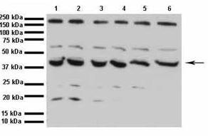 Western blot - Anti-GABPB2 antibody (ab48954)