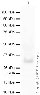 Western blot - Carbonic Anhydrase III antibody [2CA-4] (ab49111)