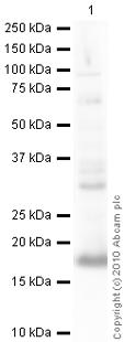 Western blot - Hes1 antibody (ab49170)
