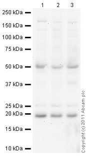 Western blot - Anti-MED19 antibody (ab49271)