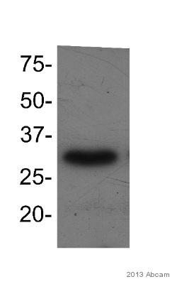 Western blot - Anti-TFIIS antibody (ab49352)