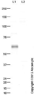Western blot - Anti-Stra8 antibody (ab49602)