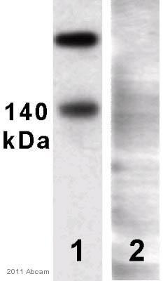 Western blot - KCC2 antibody (ab49917)
