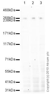 Western blot - CENPE antibody [1H12] (ab5093)