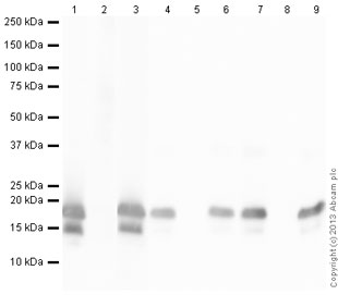 Western blot - Anti-Histone H3 (citrulline 2 + 8 + 17) antibody - ChIP Grade (ab5103)