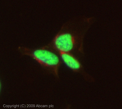 Immunocytochemistry/ Immunofluorescence - Histone H3 (phospho T11) antibody - ChIP Grade (ab5168)