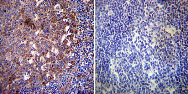Immunocytochemistry - Anti-Hsp70 antibody [3A3] (ab5439)