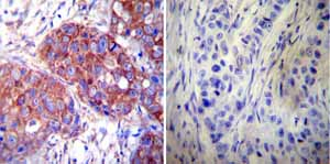 Immunohistochemistry (Formalin/PFA-fixed paraffin-embedded sections)-Anti-Hsp60 antibody [2E1/53](ab5479)
