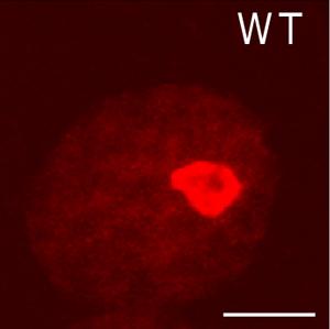 IHC - Wholemount - Anti-Fibrillarin antibody - Nucleolar Marker (ab5821)