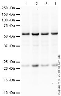 Western blot - Y14 antibody [4C4] (ab5828)