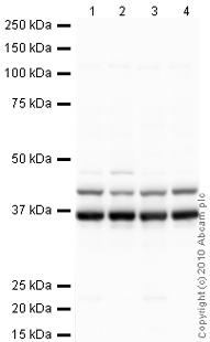 Western blot - hnRNP A1 antibody [9H10] (ab5832)