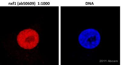 Immunocytochemistry/ Immunofluorescence - NXF1 antibody [53H8] (ab50609)