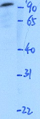 Western blot - Anti-RFX4 antibody (ab50673)