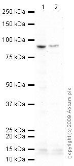Western blot - Glutamate Receptor 1 (AMPA subtype) antibody (ab51092)
