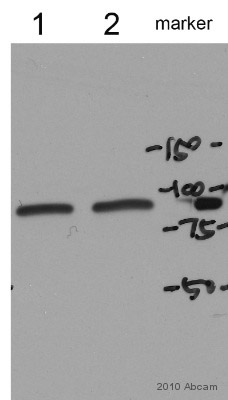Western blot - Hsp90 beta (phospho S254) antibody (ab51136)