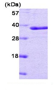 SDS-PAGE - PTP1B protein (Active) (ab51277)