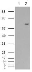 Western blot - Melanoma gp100 antibody (ab52058)