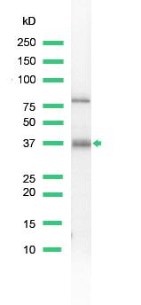 Western blot - BOB1 antibody (ab52103)