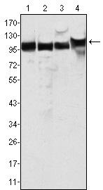Western blot - MSH2 antibody [3A2B8C] (ab52266)