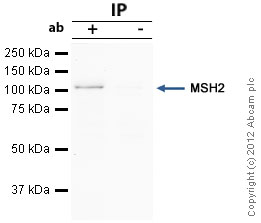 Immunoprecipitation - Anti-MSH2 antibody [3A2B8C] (ab52266)