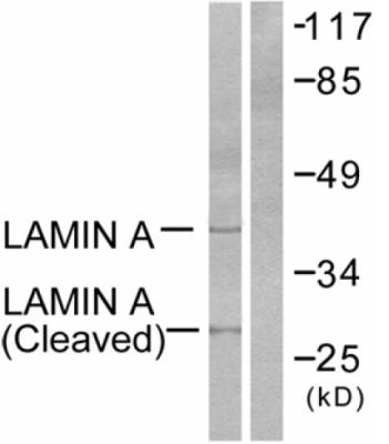 Western blot - Lamin A antibody - Cleaved - Asp230 (ab52300)