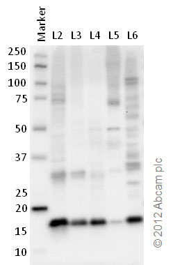 Western blot - Anti-Histone H2B antibody [mAbcam 52484] - ChIP Grade (ab52484)