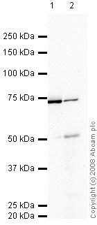 Western blot - PCSK9 antibody (ab52755)