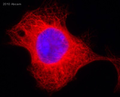Immunocytochemistry/ Immunofluorescence - alpha Tubulin antibody [EP1332Y] (ab52866)