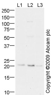 Western blot - Id1 antibody (ab52998)