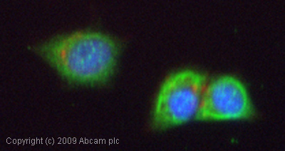 Immunocytochemistry/ Immunofluorescence-Cytokeratin 16 antibody(ab53117)