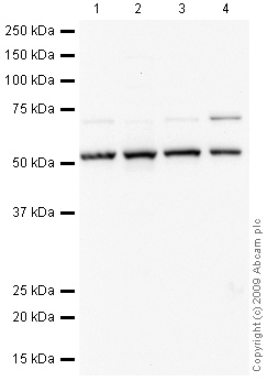 Western blot - T-bet / Tbx21 antibody (ab53174)