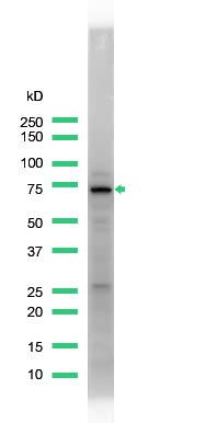 Western blot - GCLC antibody (ab53179)